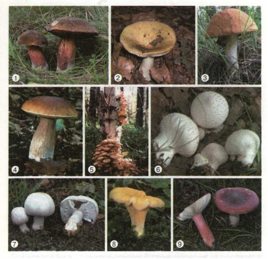 їстівні гриби україни з фото